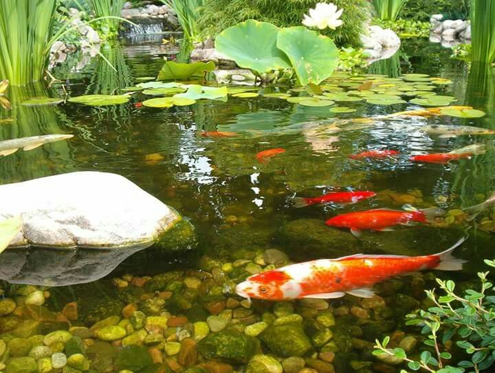 Pin by ray duran on koi fish obsession pinterest koi for Koi pool water gardens blackpool
