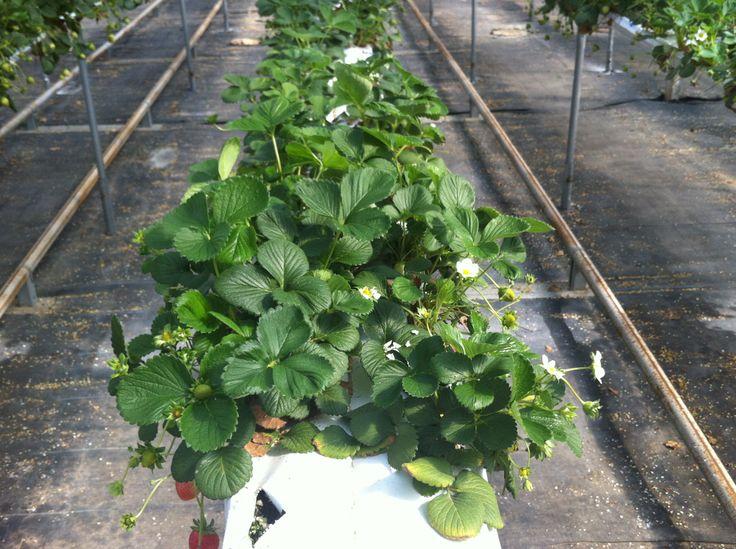 Cultivo de fresas en IFAPA (Almeria)