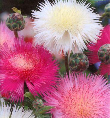Amberboa moschata 'Sweet Sultan Mix'