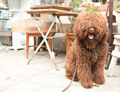 Right breed for you? Barbet information including personality, history, grooming, pictures, videos, how to find a Barbet and AKC standard.