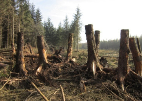 The root balls of fallen trees will help improve the habitats of wildlife along the River Ribble and stabilise the rivers banks