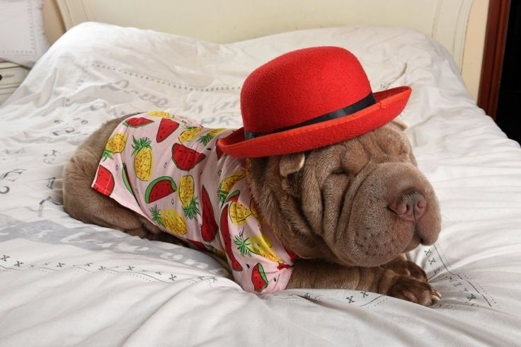 Jackson, a one-year-old Chinese Shar-Pei, loves nothing more than getting dolled up for the camera.