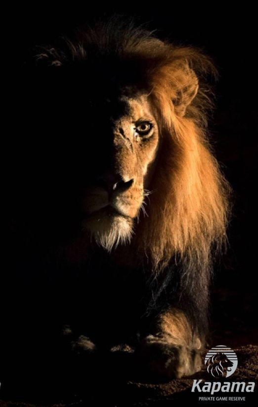 Ghost and the darkness! Kapama male lion