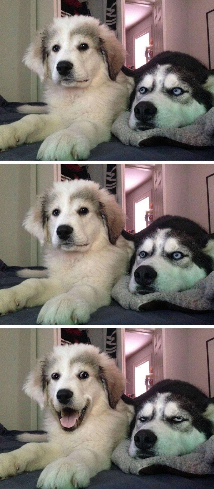 Husky Puppy Joke Template Dog jokes, Dog memes clean