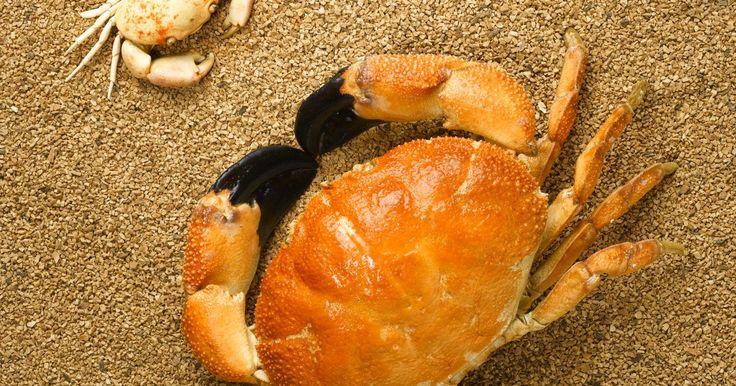 Cómo se reproducen los cangrejos. Los cangrejos se clasifican como crustáceos decápodos, lo que significa que sus abdómenes se ocultan bajo el tórax. La mayoría de los cangrejos tienen un exoesqueleto robusto, que resguarda su interior suave de los depredadores y otros peligros. Los cangrejos existen en todos los océanos del mundo y vienen en una variedad de formas y tamaños. El ...