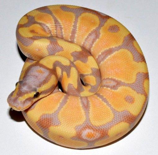 67 Best Reptile Wishlist :) Images On Pinterest