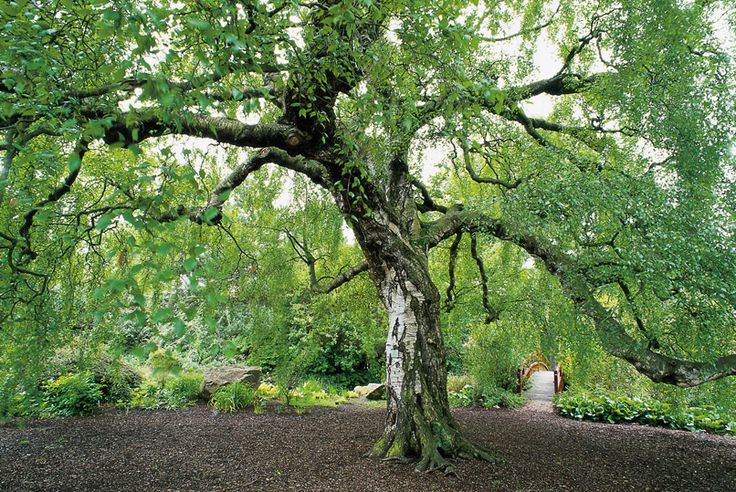 Birch tree heritage trees of scotland royal for Garden trees scotland