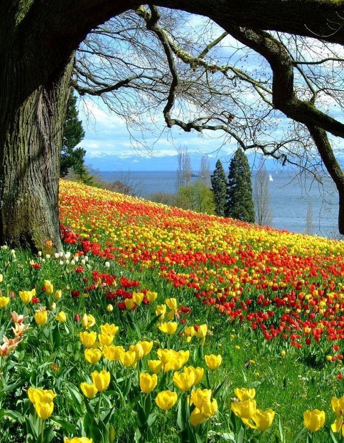 Hillside tulips