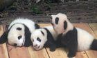 A group of panda cubs living in the Chengdu panda base in China, still unable to walk, learn to sit and climb trees