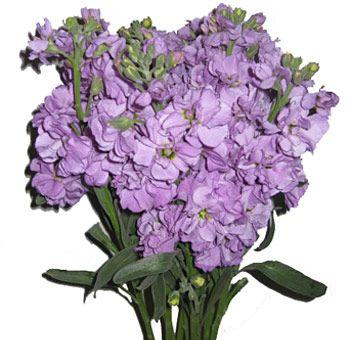 Fresh Cut Lavender Stock Flower