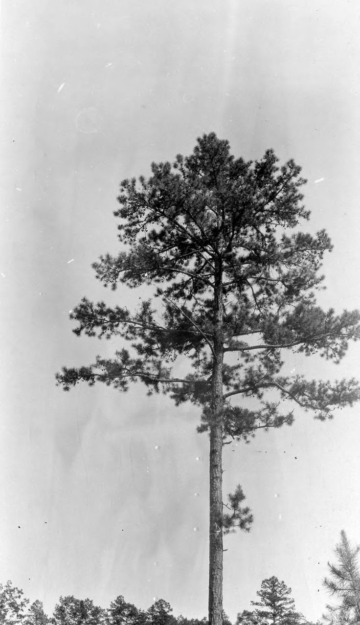 Shortleaf pine tree (Pinus echinata)