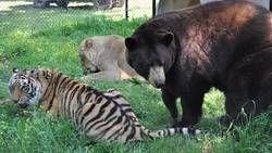 Un ours, un lion et un tigre devenus amis pour la vie  En savoir plus: http://www.maxisciences.com/ours/un-ours-un-lion-et-un-tigre-devenus-amis-pour-la-vie_art30803.html Copyright © Gentside Découverte