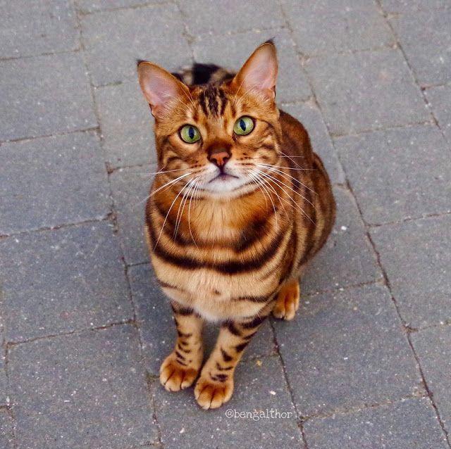 Pin On Bengal Cat Breed I Tiger Cat