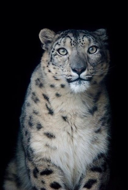 New snow leopard at the Denver zoo - Imgur