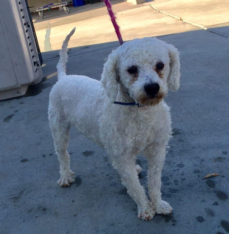 Poodle (Miniature) dog for Adoption in Fresno, CA. ADN-710790 on PuppyFinder.com Gender: Male. Age: Adult