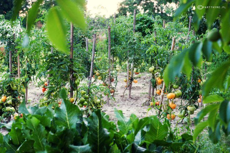 pomidory na działce