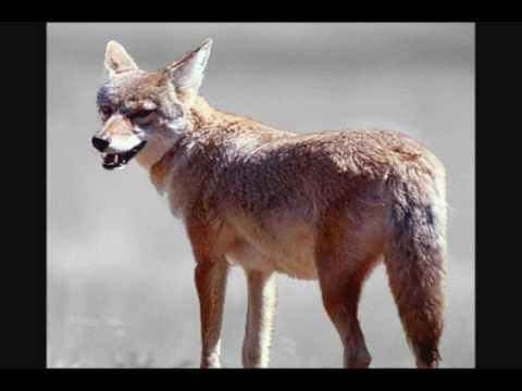 Forest Animal Sounds for Kids: mice, chipmunks, eagles, wolves, coyotes...