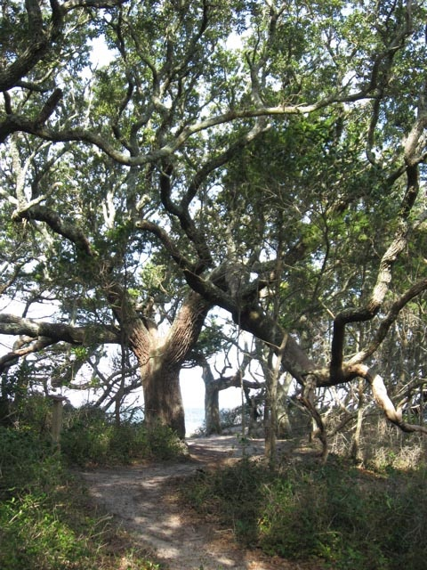 Cant wait to see this in September!! Springer's Point Trail, Ocracoke NC