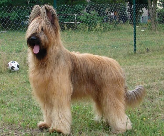 Briard A great French Herding Dog. Herding Breeds