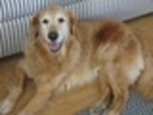 This is Kris - 9 yrs He was rescued on Christmas Eve 2012 but his family is now heartbroken to surrender him. He is neutered, current on vaccinations, potty trained & good with dogs. Kris is looking for a forever home & is at Rescue A Golden of Arizona.