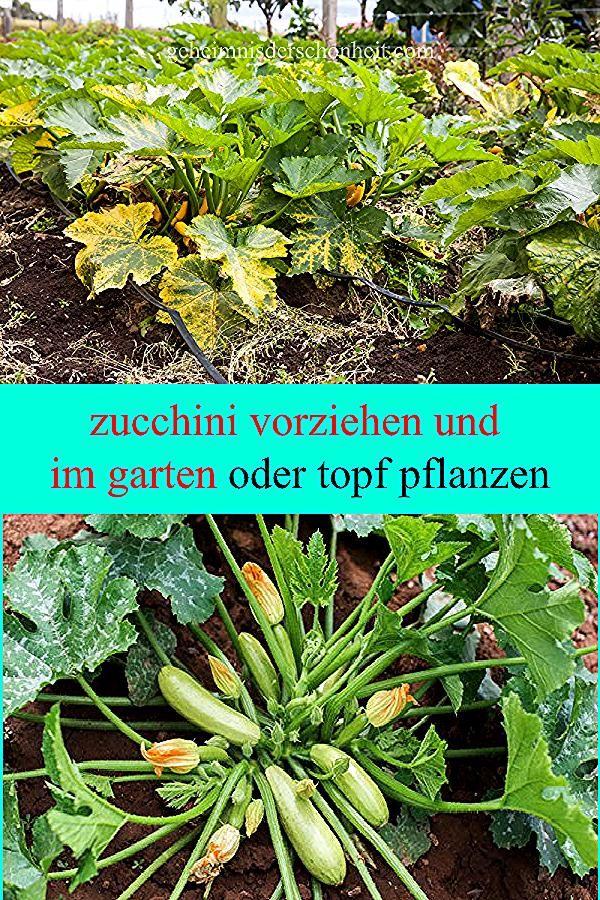 Pin On Kurbis Zucchini