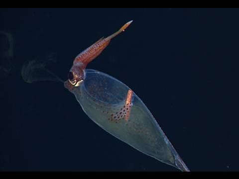 Anthology of Deep Sea Squids video from MBARI.