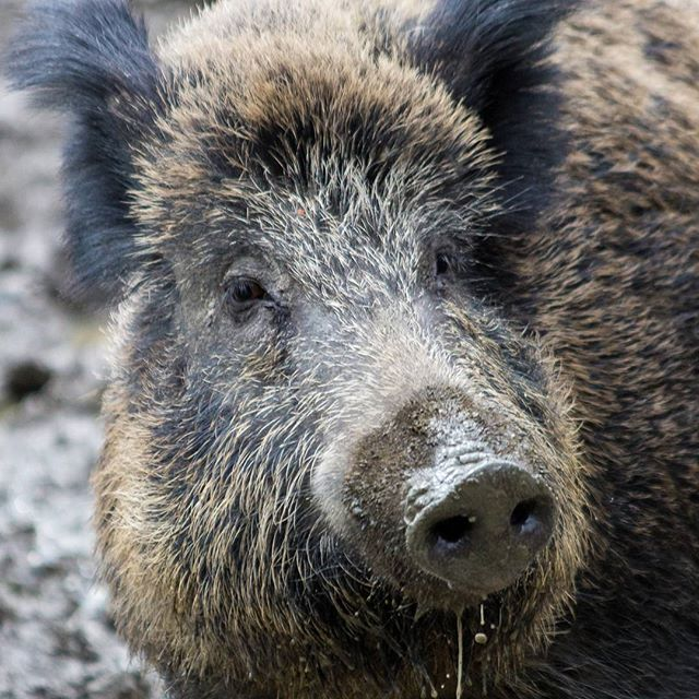Amazing  wildwaldvosswinkel wildschwein wildboar muddy animalphotography