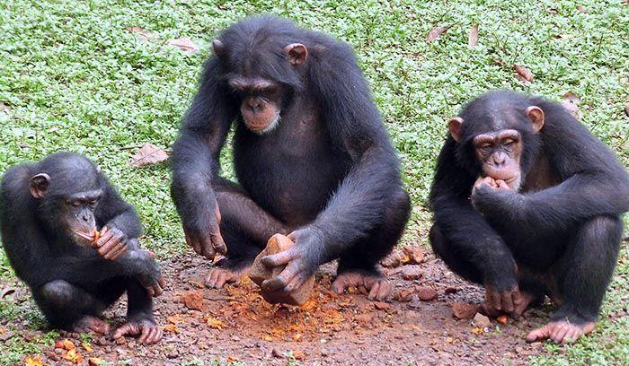 Gli scimpanzé e i termitai