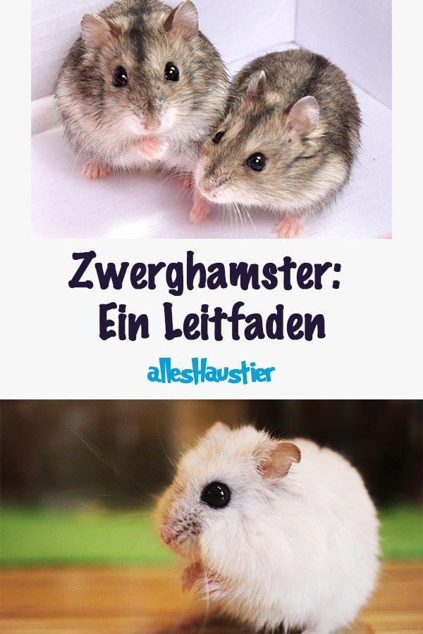Zwerghamster Ein Leitfaden Uber Arten Und Eine Artgerechte Haltung Hamster Zwerghamster Susse Hamster