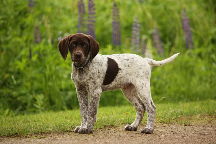 German Short haired Pointer puppy.  I want another doggie!!!!!!!!!