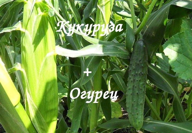 Огурцы усами цепляются за стебель кукурузы и дополнительной подпорки не требуют, так как у кукурузы стебли мощные толстые и крепкие! Расстояние между кукурузой 30 см