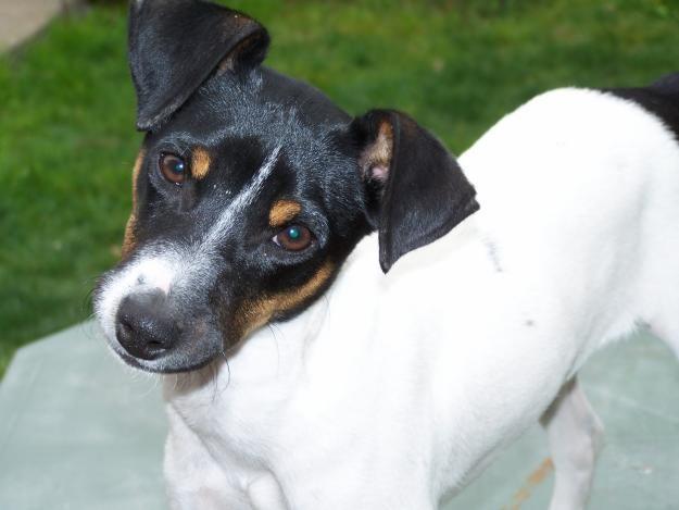 Fox Terrier Chileno - Razas perros | Mascotas.