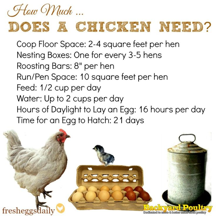 Infographic covering how much space, feed, water and light a backyard chicken really needs.