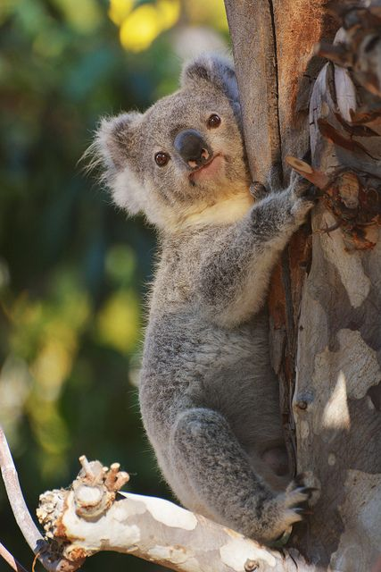 Cute little tree hugger | Koalafornia | Pinterest | Trees ...
