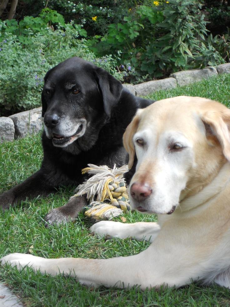 My gardening buddies...Zeke is my 14 year old black lab