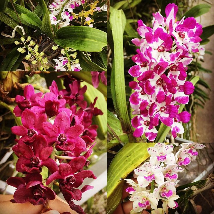 Rhynchostylis gigantea in blooming season with sweet fragrance  #tohgarden #singapore #tropical #farm #spotted #orchid #orchidstagram #orchideeën #orchids #orchidflowers #orchidgarden #orchidworld #orchidlove #instagramorchids #instaorchid #orchidfan #orchidaceae #orchidofilia #orchideeën #orchidmag #orchidisland #orchidplant #colourfulflowers #flowers #rhychostylis #gigantea #orchidfarmer #