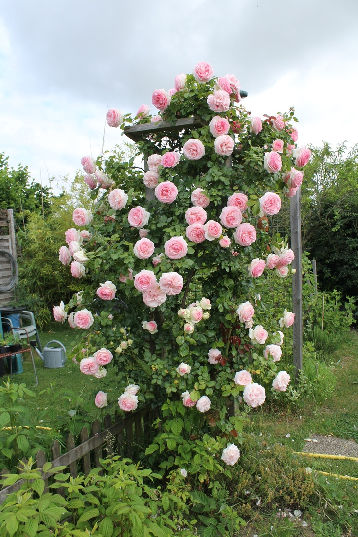 269 Best Images About Climbing Amp Rambling Roses On