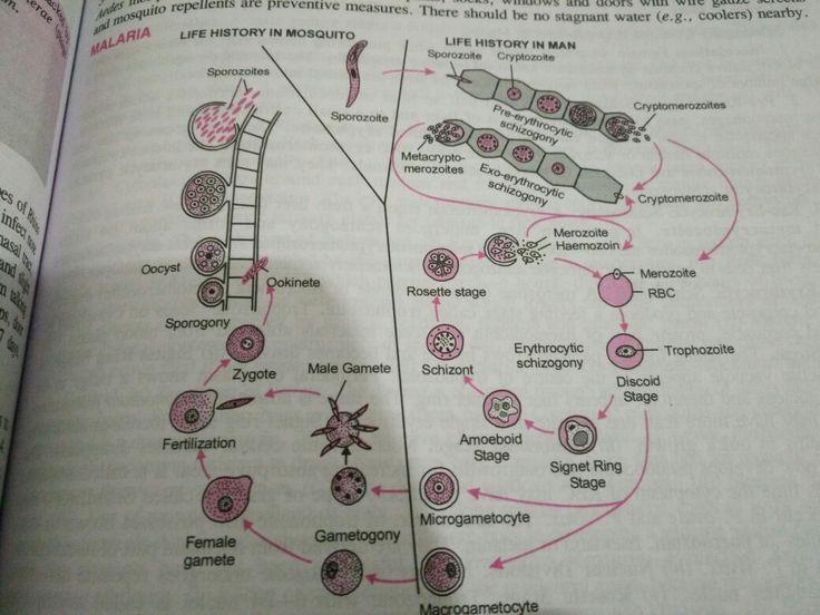 Malaria life cycle