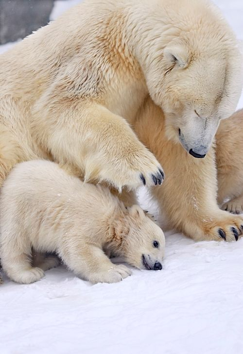 26 best The North Pole images on Pinterest | Wild animals ...