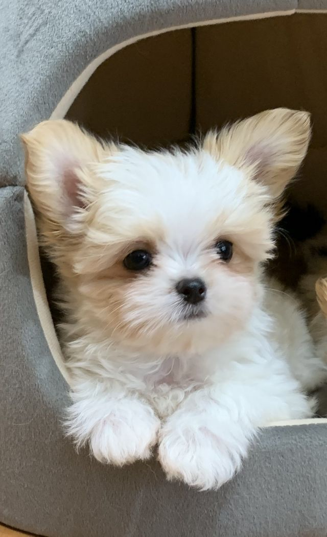 Rare Gem Mi Kis Miki Com Mi Ki Puppies For Sale Cute Dogs And Puppies Cute Tiny Dogs Cute Teacup Puppies