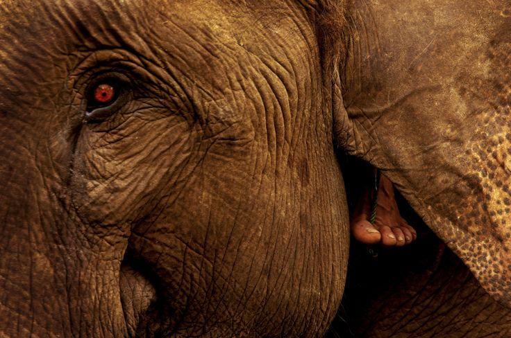 """""""MAHOUT"""", por Juan Pablo Moreiras. Un elefante asiático es conducido por su mahout en Banda Aceh, Sumatra, pocos meses después del tsunami de 2004, en el que estos animales desempeñaron una tarea crucial para la búsqueda de víctimas atrapadas bajo los escombros, ya que fueron capaces de llegar a lugares a los que las máquinas no tenían acceso."""