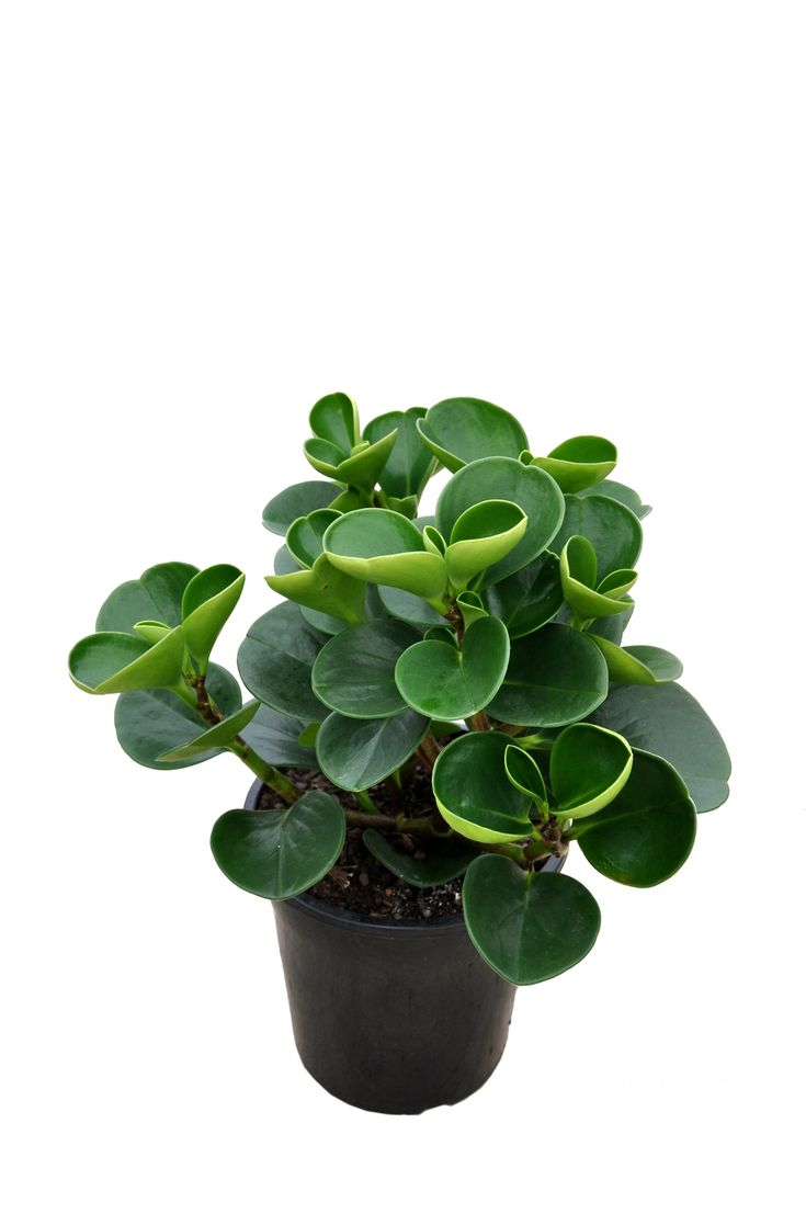 Peperomia Obtusifolia Baby Rubber Plant Variegated