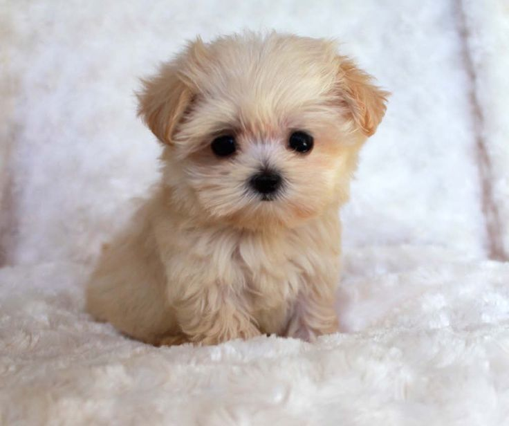 Teacup puppies are cute, small as well as adorable and this why most dog lovers prefer Teacup dogs as a companion animal pet. Teacups are a breed of small ...