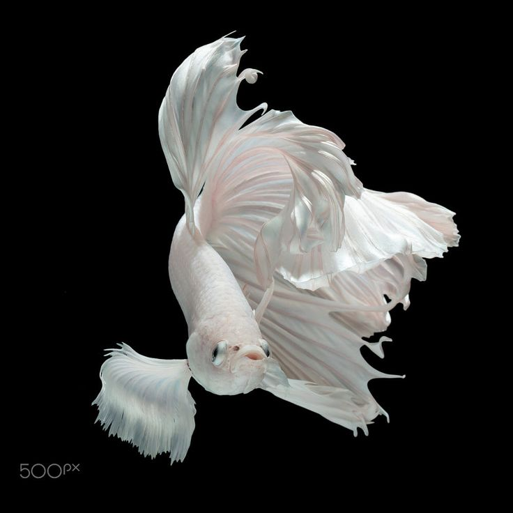 White Dragon by Kidsada Manchinda on 500px