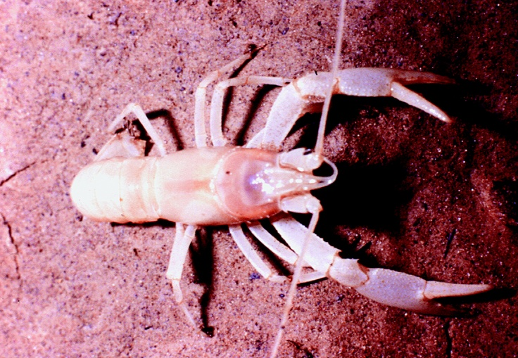 Blind crayfish bluespring caverns pinterest