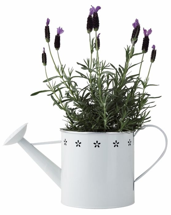 Lavender in watering can. Shop now at www.hardtofind.com.au