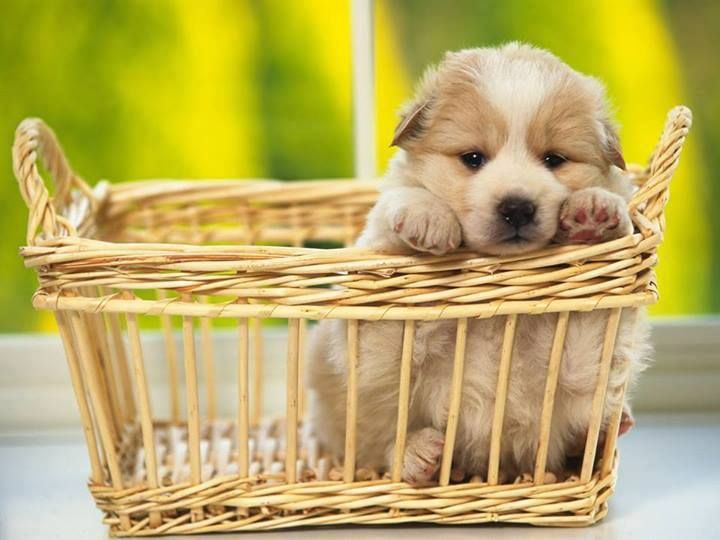 .Dogs Wallpapers, Puppies Pictures, Little Puppies, Pets, Desktop Backgrounds, Baskets, Little Dogs, Cachorro Vira-Lata, Adorable Animal