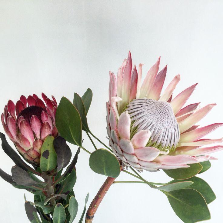 | Protea Reyna |   FELIPA floristería