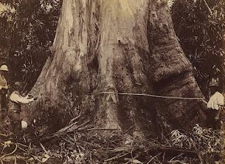 Australia - a venerable eucalyptus