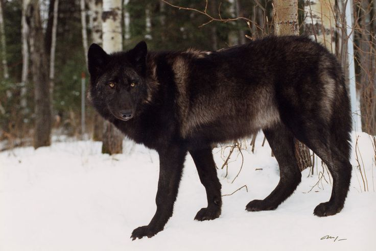 Image result for wolves in winter